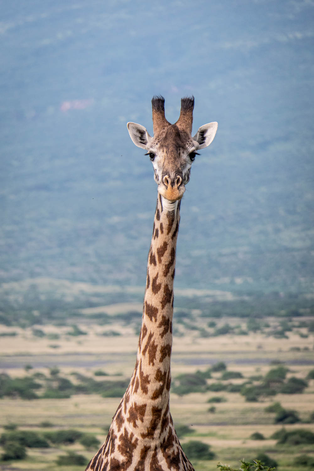 Tanzania national animal - giraffe - Tanzania travel guide - things to know before you go